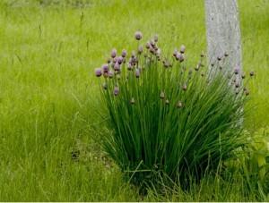 цветущий шнитт лук