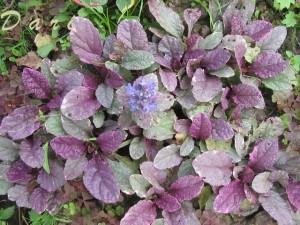 листья живучки ползучей