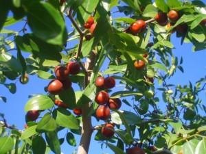 плоды унаби на ветке