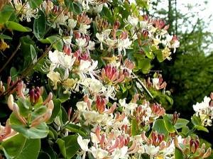 бело-розовые цветы жимолости каприфоль