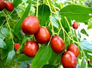 унаби - спелые плоды