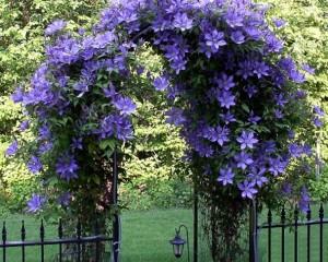Жимолость каприфоль фото цветов