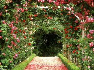 арка из жимолости каприфоль