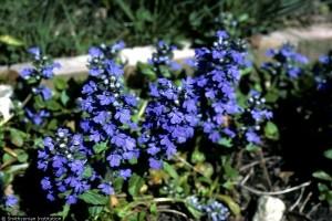 синие цветы живучки ползучей