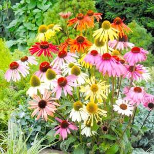 разноцветные цветы эхинацеи
