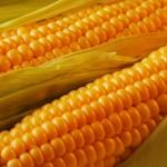 Кукуруза (маис)