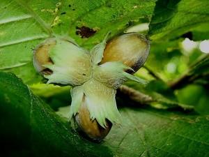 плоды лещины