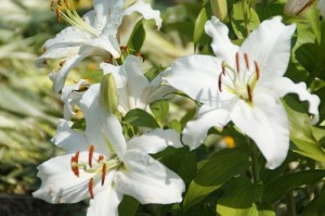 три цветка белой лилии