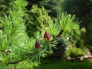 Лиственница сибирская - описание, лечебные свойства, рецепты, противопоказания