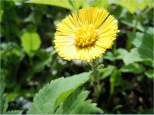 Мать-и-мачеха цветок