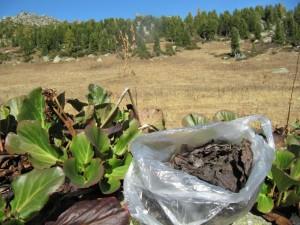 Бадан толстолистный растение