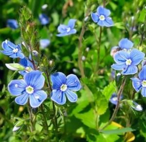 Вероника лекарственная цветы