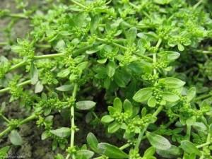 Грыжник фото растения