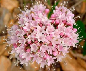 валериана цветки