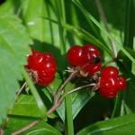 костяника ягоды на стебле и листья
