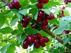 кизил - растение с плодами