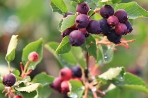 ирга ягоды на ветках