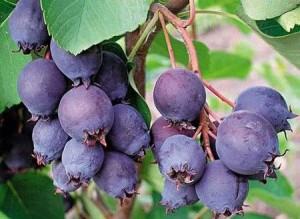 гроздь ирги