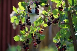 ветви ирги с листьями и плодами