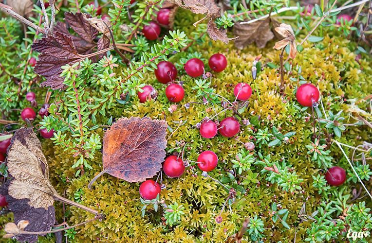 листья клюквы