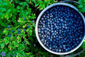голубика плоды и листья