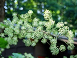 Аралия маньчжурская цветки
