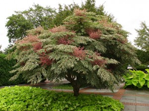 Аралия высокая дерево