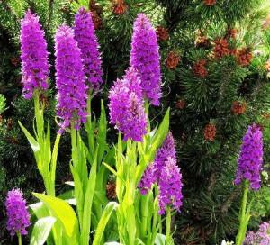 Ятрышник фиолетовый