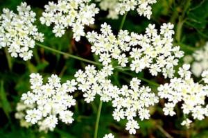 цветы аниса