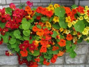 Настурция цветущая