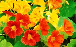 Настурция цветки крупный план