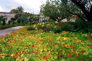 сад с настурцией