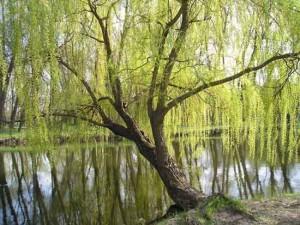 Ива белая ветла на берегу пруда