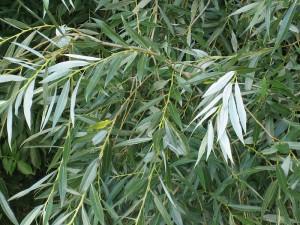 Ива белая листва