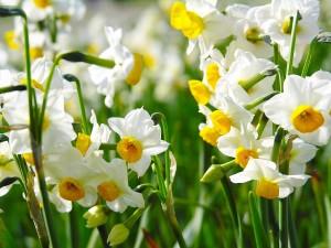 нарциссы цветущие