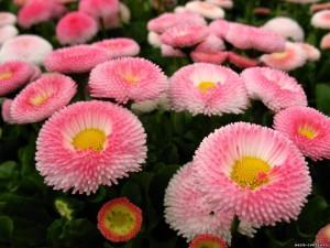 Маргаритка цветы розовые