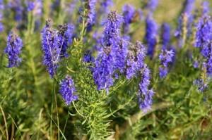 иссоп лекарственный заготовка травы