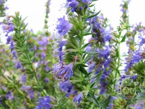 Иссоп лекарственный цветы крупный план