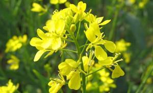 Сурепка обыкновенная цветы крупный план