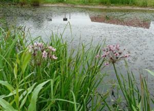 Сусак зонтичный на озере