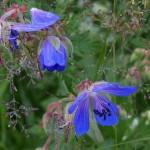 Огуречная трава цветки