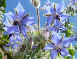 цветы бораго огуречника
