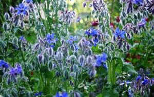 Огуречная трава в саду