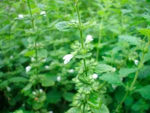 Мелисса лекарственная в саду