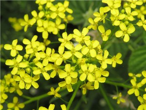 Свербига восточная цветки крупный план