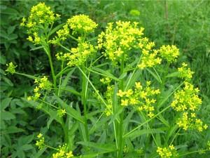 свербига восточная трава с цветками
