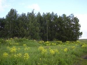 Свербига восточная на поляне