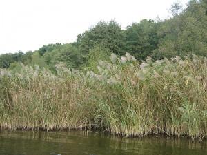 Тростник обыкновенный на реке