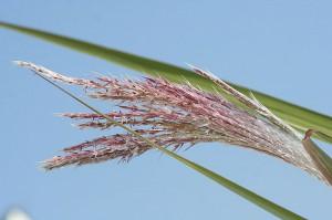 Тростник обыкновенный соцветие