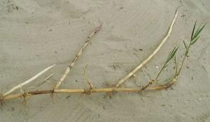 Тростник обыкновенный корневище